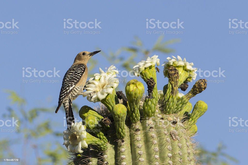 Gila Woodpecker Eating from Saguaro Flower stock photo