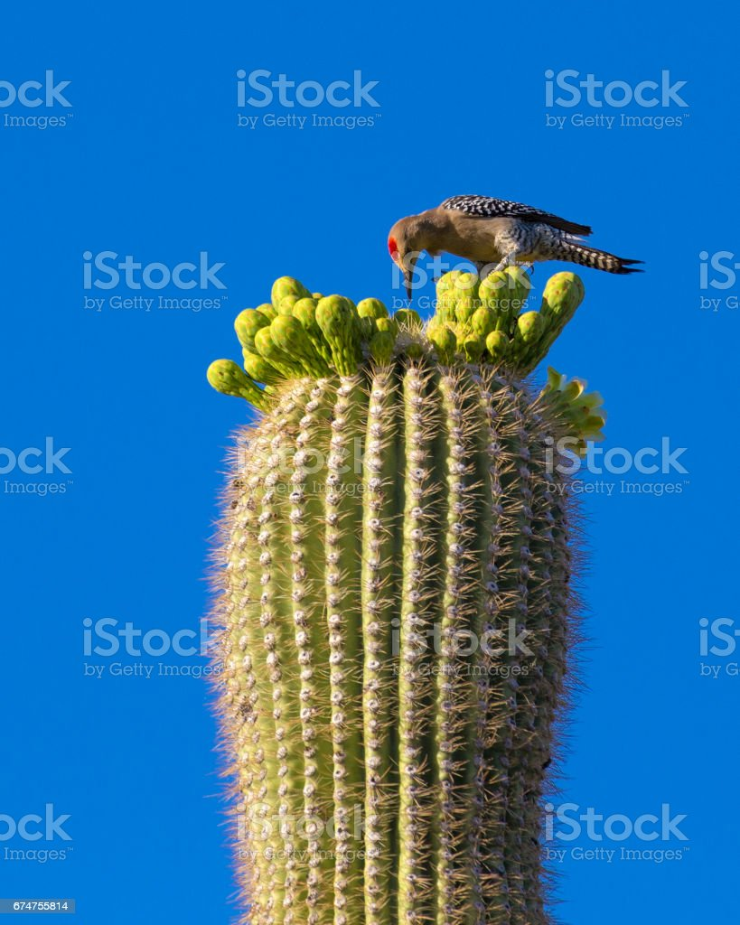 Gila Woodpecker Eating from Saguaro Flower stock photo