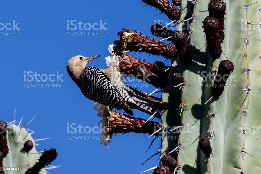 Gila Woodpecker feeding on flower of a tall cactus in Arizona's Sonoran desert. stock photo