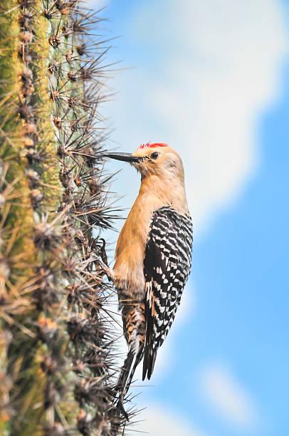 Gila Woodpecker on Saguaro Cactus Flower stock photo