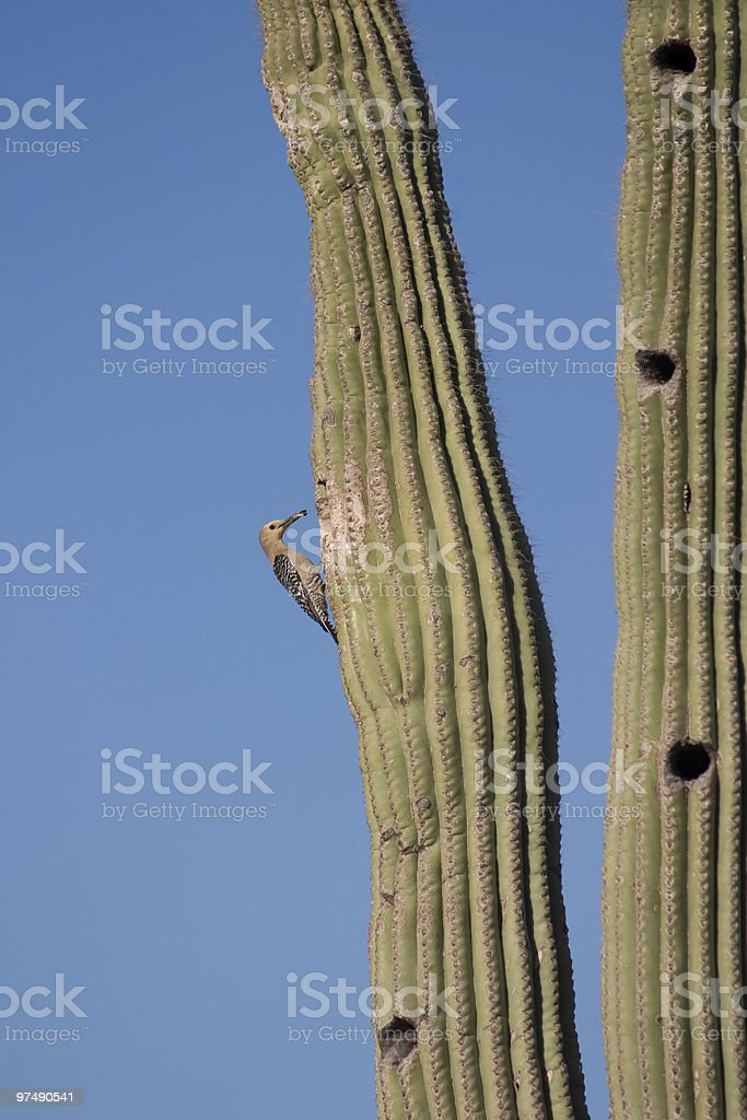 Gila Woodpecker with Food for Babies royalty-free stock photo