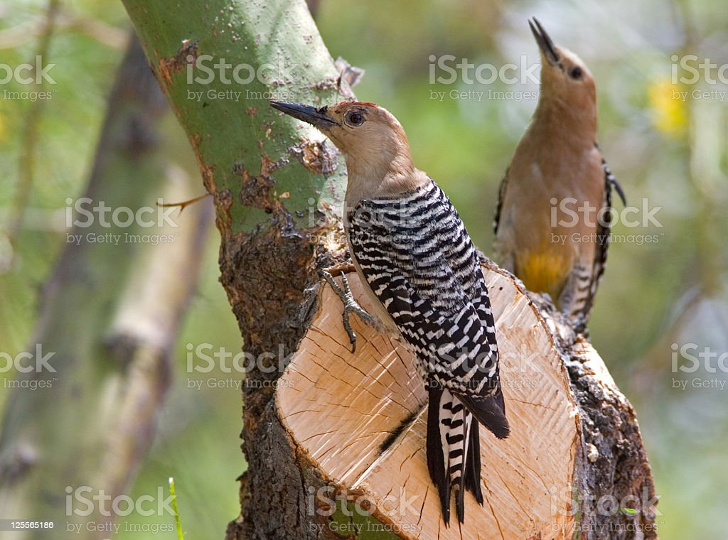 Gila Woodpeckers Male & Female royalty-free stock photo