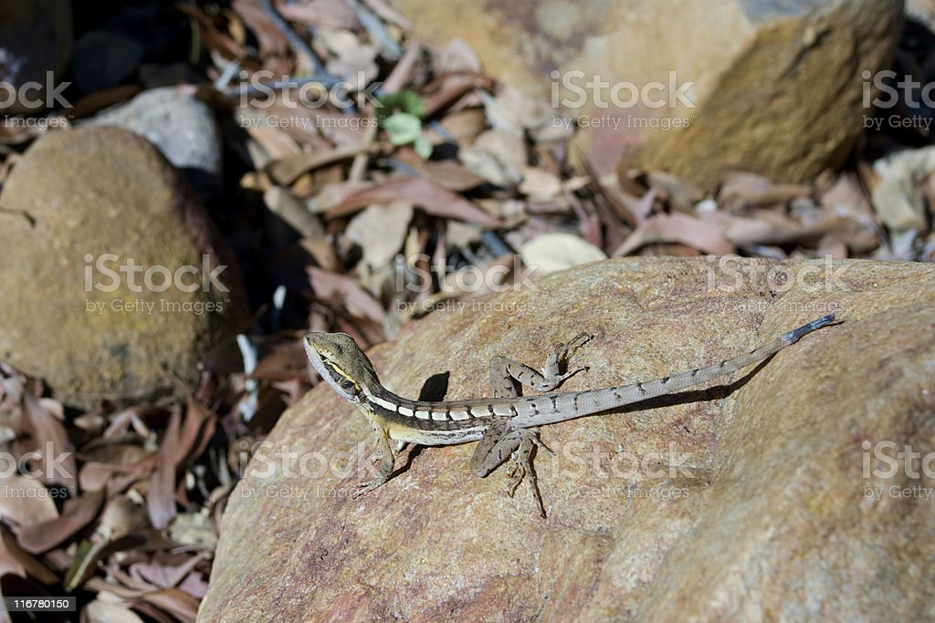 Gilberts Dragon or Ta-Ta Lizard in northern Australia stock photo