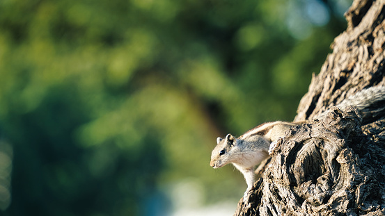 Wild Sherman's Fox Squirrel or Sciurus niger shermani on Khejari or prosopis cineraria tree trunk. Fox squirrel, Sciurus niger, also known as the eastern fox squirrel, is the largest species of tree squirrel native to India.