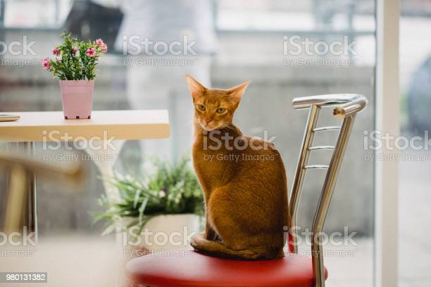 Ginger abyssinian cat is sitting on chair near the table and looking picture id980131382?b=1&k=6&m=980131382&s=612x612&h=ugstg6mzu07wztwylzcf4ss1phmwhkai3a6ha d 2nw=