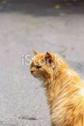 Rear close view of a stray injured orange long-haired tomcat in a San Leo street on a blurred asphalt background in Province of Rimini, Region of Emilia-Romagna, Italy