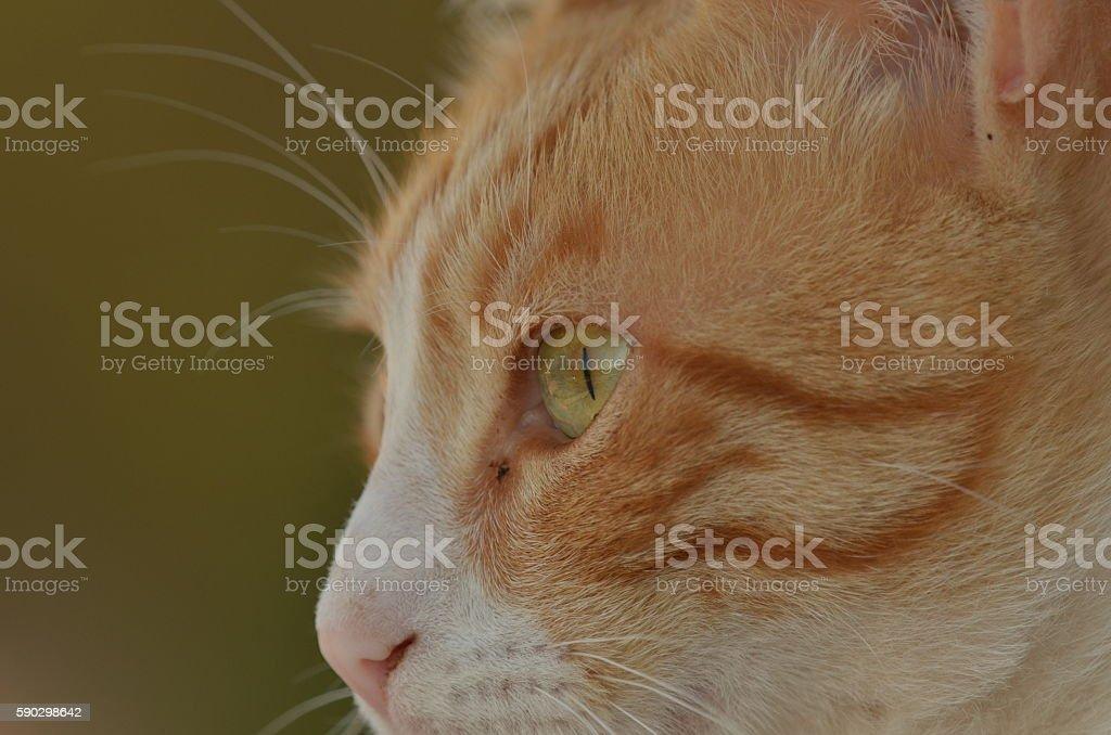 Ginger and white cat face side view royaltyfri bildbanksbilder