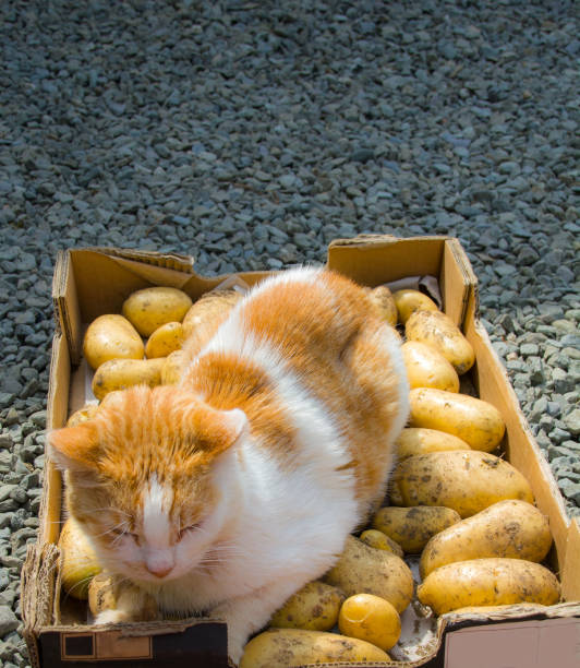 Ginger and white cat on tray of harvested potatoes picture id888994402?b=1&k=6&m=888994402&s=612x612&w=0&h=wq1xy nadutvhx6vls2y71x0 j5 t8uwtjf3jlod8je=
