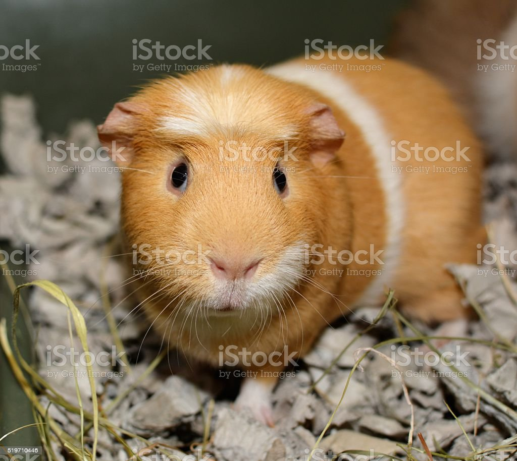 ginger and white guinea pig cute guinea pig in the cage Animal Stock Photo