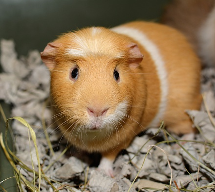 Ginger And White Guinea Pig Stock Photo - Download Image Now
