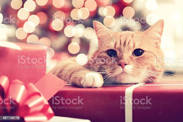 Ginger british shorthair cat in the christmas interior picture id487149176?b=1&k=6&m=487149176&s=612x612&h=imapclsygkaeg83bn fxsxwnmyleplvfzheklrc d y=