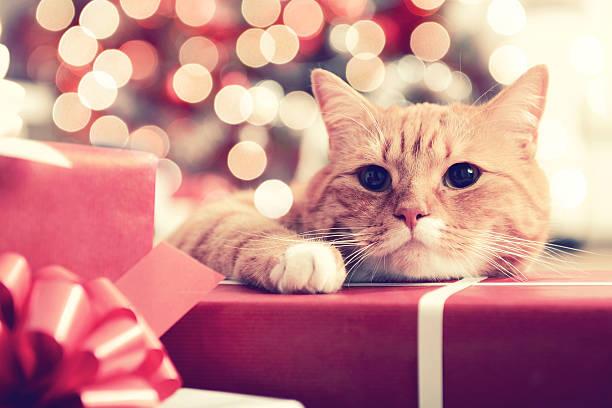 ginger british amerikanisch kurzhaar in der weihnachtszeit innen - katze weihnachten stock-fotos und bilder