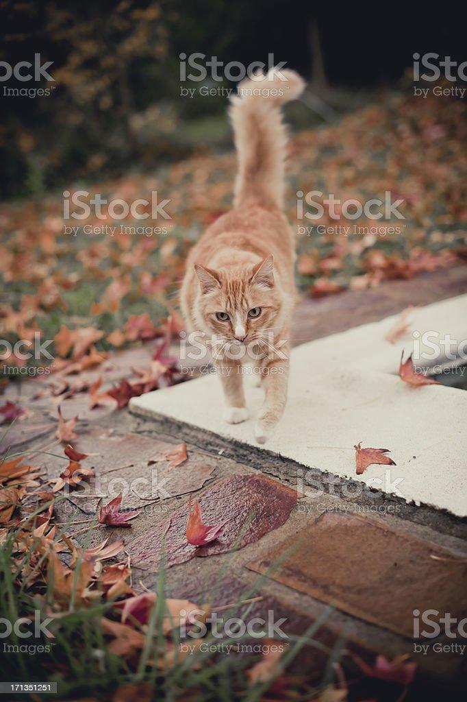 Ginger cat walking among orange leaves.