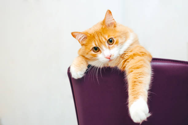 Ginger cat at white background stick out his paw from purple chair picture id1125053464?b=1&k=6&m=1125053464&s=612x612&w=0&h=crryxdna3yg7kaiuagunqlmor7ofqpftvuqqdw 0awi=