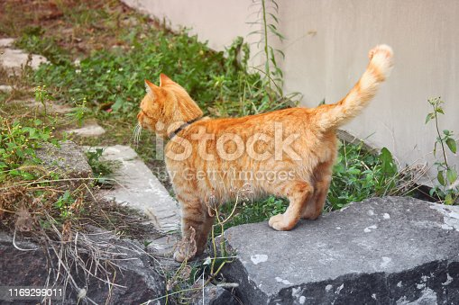 istock Ginger cat. Cat on the street 1169299011