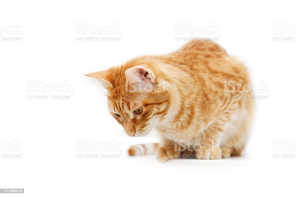 Ginger cat cat sitting and looking down. Isolated on white. stock photo