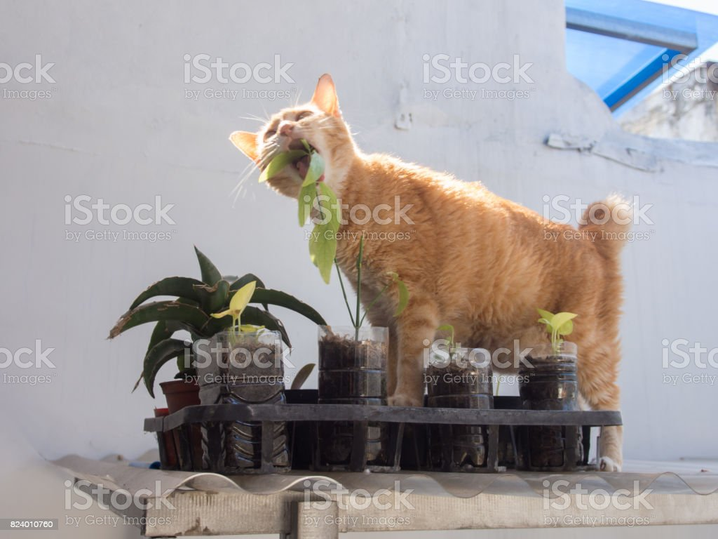 Ginger Cat Eating Leaf stock photo