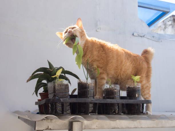 Ginger Cat comendo folha - foto de acervo