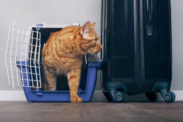 yanında bir bavul göz endişeyle yana doğru bir seyahat sandık içinde zencefil kedi. - ehli hayvan stok fotoğraflar ve resimler
