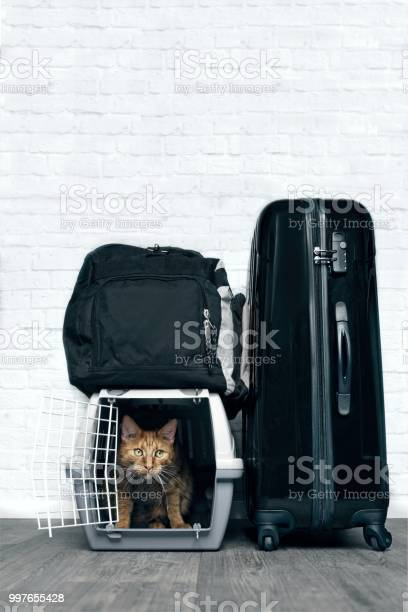 Ginger cat in container for transport in the middle of luggage picture id997655428?b=1&k=6&m=997655428&s=612x612&h=vu5iehabq 3zajtv0e2grrsb yrnyt 0vr6hajrfbi4=