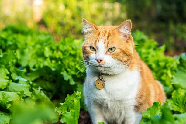 Ginger cat in the lettuce patch picture id494179421?b=1&k=6&m=494179421&s=612x612&w=0&h=9gm othlimtimrz0x xvs2rivc8ulktsutd5hdpevn4=