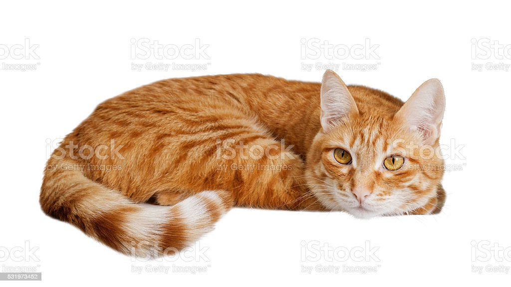 Ginger cat isolated on white. stock photo