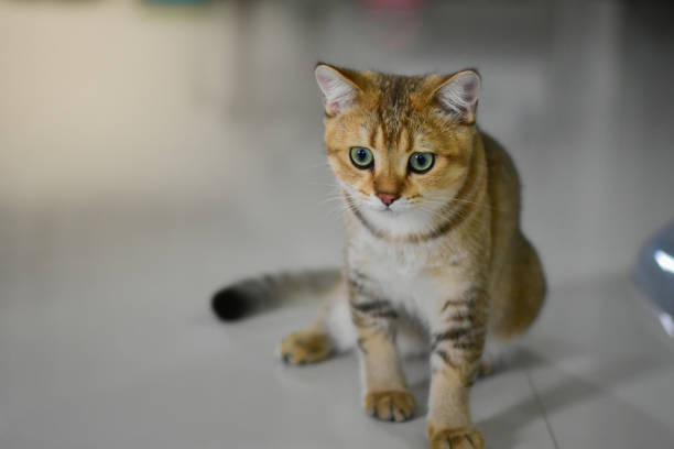 ginger cat keeps staring on their prey stock photo