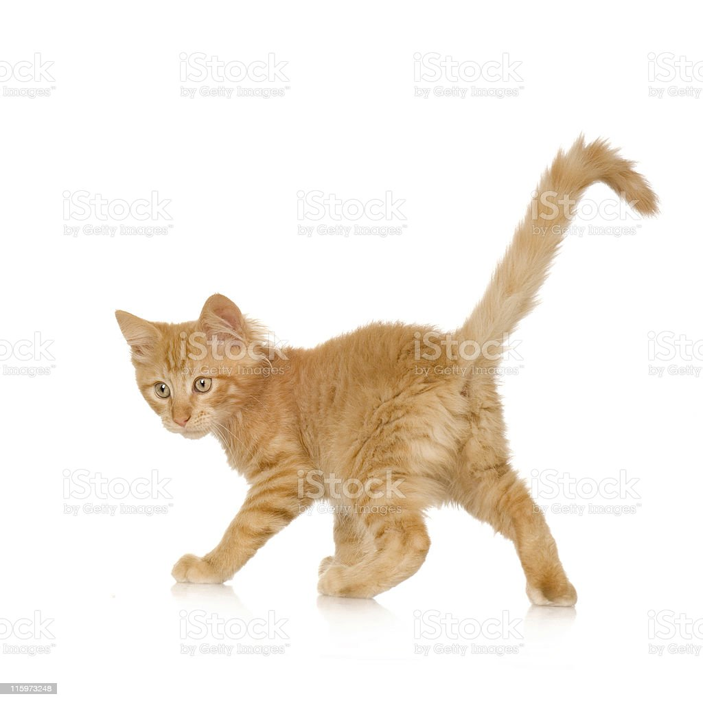 Ginger Cat kitten stock photo
