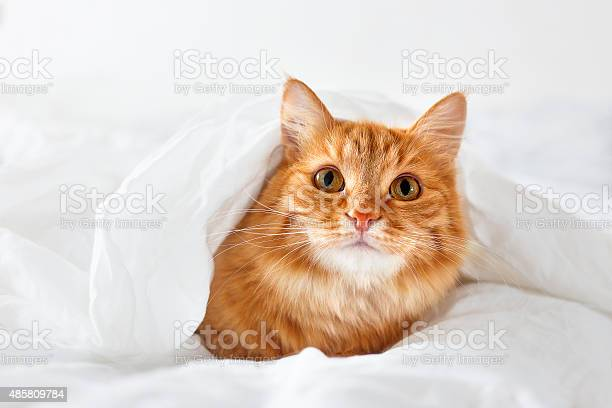 Ginger cat lies on bed fluffy pet hides under blanket picture id485809784?b=1&k=6&m=485809784&s=612x612&h=rlcsvq1epicr fajedacsfp nyaoxwf3p3u89rwcgii=