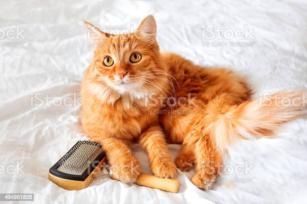 Ginger cat lies on bed with grooming comb picture id494961808?b=1&k=6&m=494961808&s=612x612&h=uwozs4th84vymfctlqhbti7feawdaoronemwgpwplls=