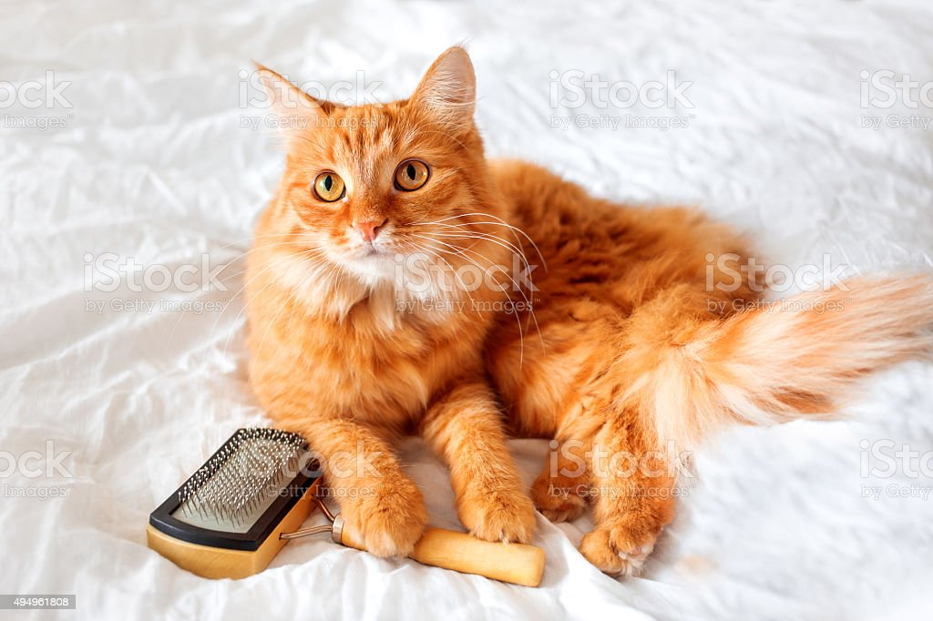 Ginger cat lies on bed with grooming comb. stock photo