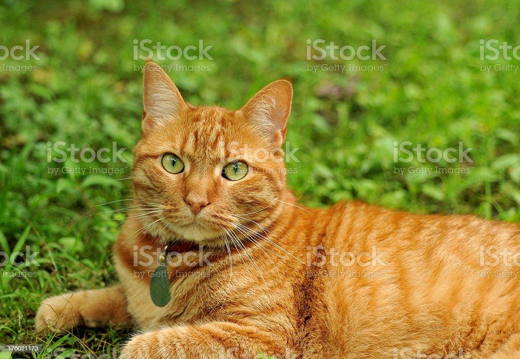 Ginger Cat Looking At Camera stock photo