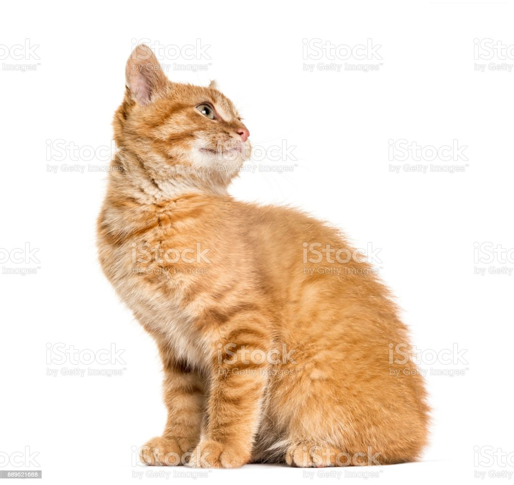 Ginger cat looking bak and looking up, sitting, isolated on white stock photo