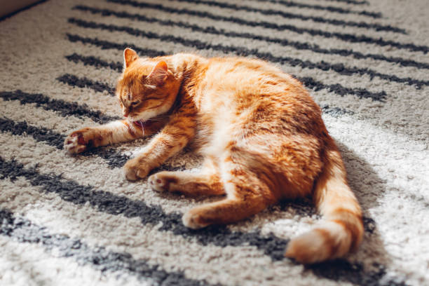 Ginger cat lying on floor carpet at home. Pet cleaning itself licking hair. Animal feeling comfortable and safe