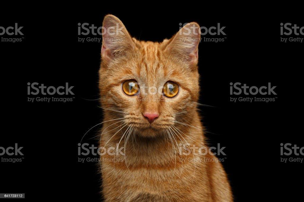 Gato de gengibre em fundo preto isolado foto royalty-free