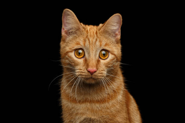 Ginger cat on Isolated Black background stock photo