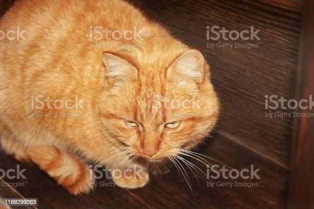 Ginger cat on wooden background picture id1169299263?b=1&k=6&m=1169299263&s=612x612&h=3vy4rngvsvfwpdzuwkc7w0ewtqxls8bowoacutsxklw=