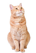 Cute red cat looking up and isolated on white background.