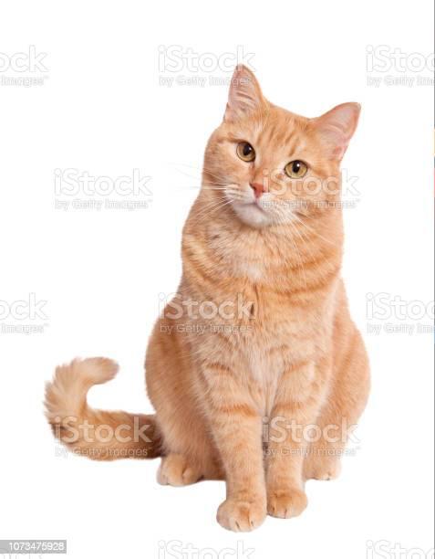 Ginger cat picture id1073475928?b=1&k=6&m=1073475928&s=612x612&h=8nws65rz kajztsr32la pljjrmnytqpxog0wcpswyg=