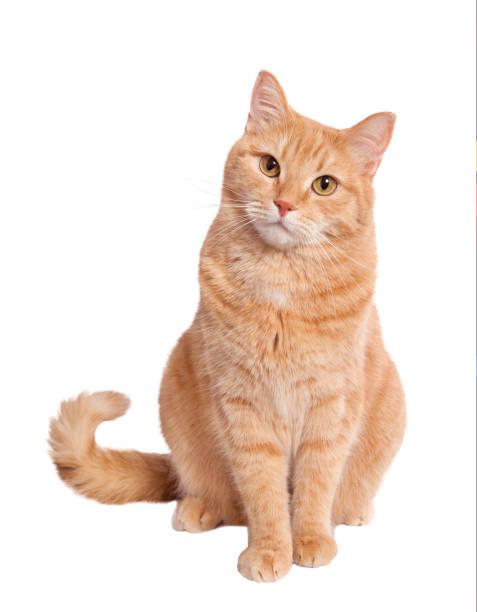 진저 고양이 - cat 뉴스 사진 이미지