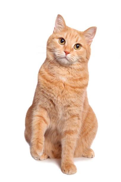 Ginger cat picture id1073475938?b=1&k=6&m=1073475938&s=612x612&w=0&h=wvtnc7thjgw55eiml9hhq2bamdq5fyou8n5mm299dto=