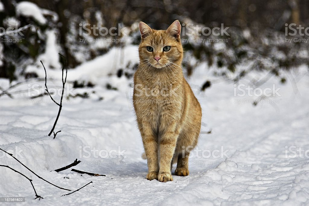 ginger cat royalty-free stock photo