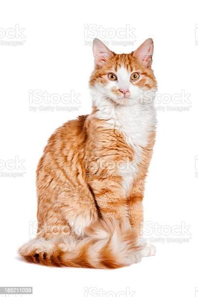 Ginger cat picture id185211039?b=1&k=6&m=185211039&s=612x612&h=6yspokefiensyqh5ftwjqa2bbylnqpazzva19igbq0s=