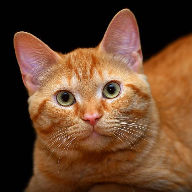 Ginger cat picture id471795381?b=1&k=6&m=471795381&s=612x612&w=0&h=dd3geffc5kygvyauxlmram010awnkdij7s0cp h9bpk=