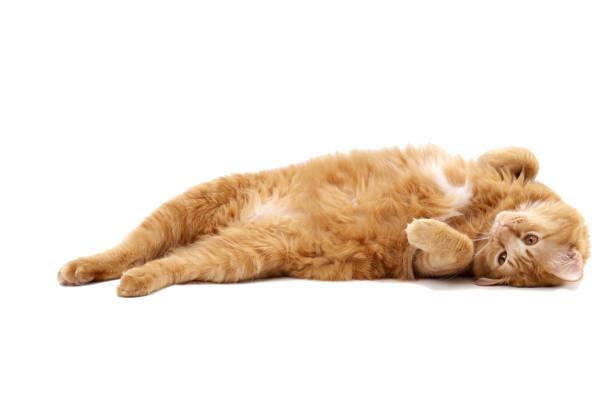 Ginger cat picture id945184186?b=1&k=6&m=945184186&s=612x612&w=0&h=bw6mdmbkukpexhbbzmifr4hzwc71bcuxi1cxqpnyoy4=