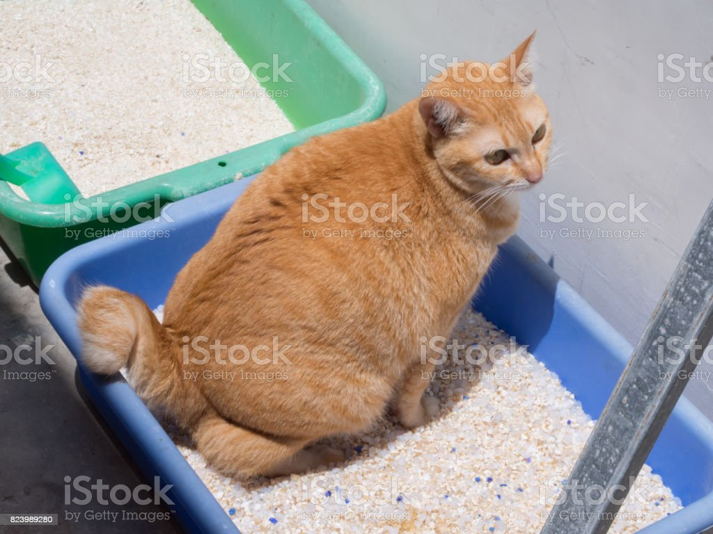 Ginger Cat Pooping / Urinate at Litter stock photo