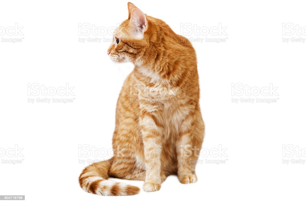 Ginger cat sits and looks away, turning his head in the sideway stock photo