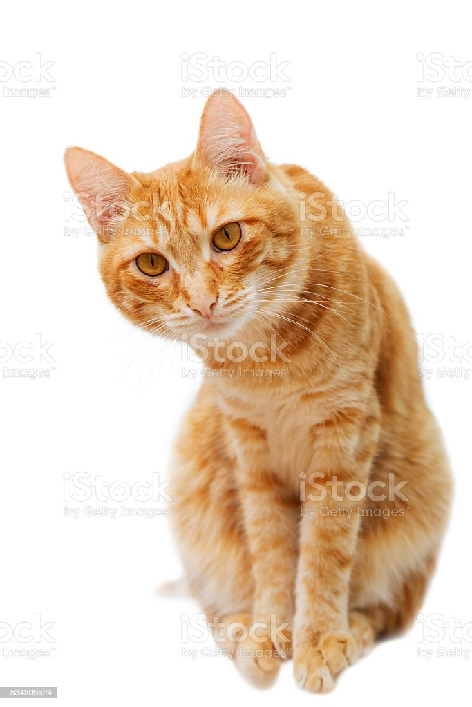 Ginger cat sits and looks carefully in front of him stock photo