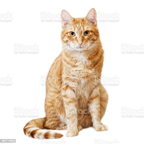 Ginger cat sits and looks directly in camera picture id804718800?b=1&k=6&m=804718800&s=612x612&h=flawandghvvk5nni9voty1s gw6ldnv5c2 vkxmogv0=