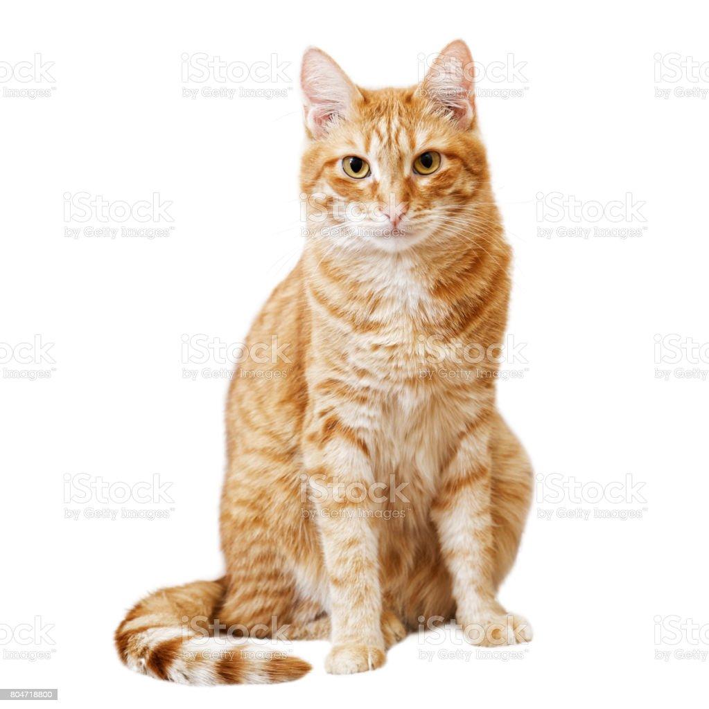 Ingwer Katze sitzt und schaut direkt in die Kamera – Foto